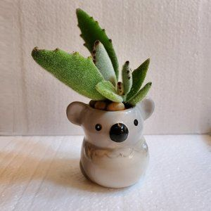 Other - Succulent in ceramic Koala Planter, Panda Plant 3""